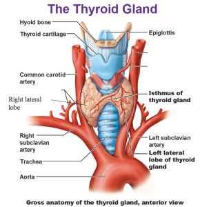 Your Thyroid and Weight Loss
